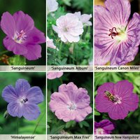 Hardy Geranium Collection 6 Plants