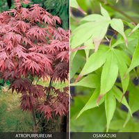 Acer Palmatum Duo - Only �5.99 with orders over �10! Worth �19.98