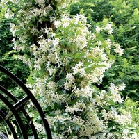 Evergreen, Scented Star Jasmine - Double up for 1p