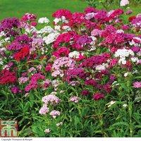 Dianthus barbatus Sweet Mixed