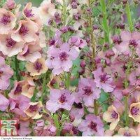 Verbascum x hybrida