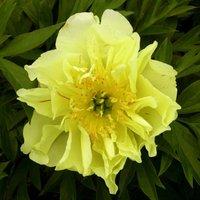 Peony Yellow Waterlilly