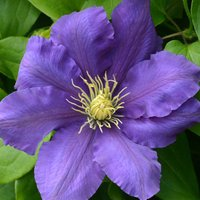 Clematis Chevalier™ evipo040