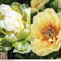 Peony Duo Collection