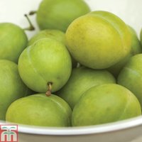 Greengage Reine Claude
