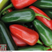 Chilli Pepper Jalapeno M