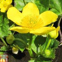 Caltha palustris subsp. polypetala (Marginal Aquatic)