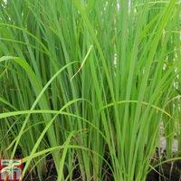 Carex acuta (Marginal Aquatic)
