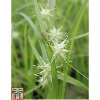 Carex grayi (Marginal Aquatic)