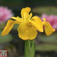 Iris pseudacorus (Marginal Aquatic)