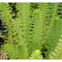 Myriophyllum crispatum (Oxygenating Aquatic)