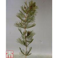 Myriophyllum spicatum (Oxygenating Aquatic)