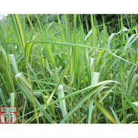 Phragmites australis subsp. australis