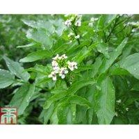 Rorippa nasturtium aquaticum (Marginal Aquatic)