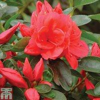 'Azalea 'dwarf Red'