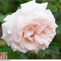 Rosa Madame Alfred Carriere (Climbing Rose)
