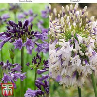 Agapanthus Duo Fireworks and Poppin Purple