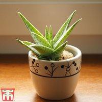 Aloe vera (House Plant)