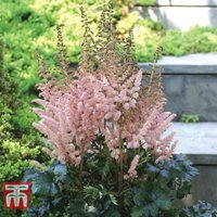 Astilbe Censation