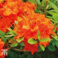 Azalea Dwarf Orange