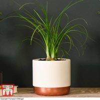 Beaucarnea recurvata (House plant)