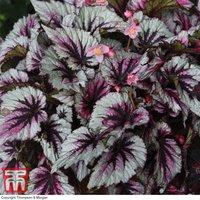 Begonia Hardy