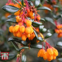 Berberis trigona Orange King