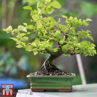 Bonsai Zelkova (House Plant)
