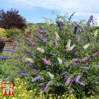 Buddleja davidii Triple 3-in-1