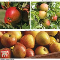 Britains Favourite Apple Tree Collection