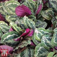 Calathea roseopicta (House Plant)