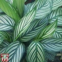 Calathea zebrina (House Plant)