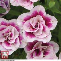 Calibrachoa Calita Double Pink Bicolour