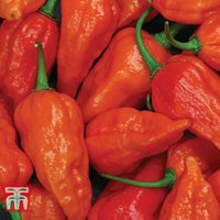 Chilli Pepper Naga Red (Hot)