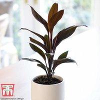 Cordyline Tango (House Plant)