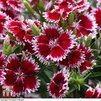 Dianthus Summer Diamond Ruby Picotee