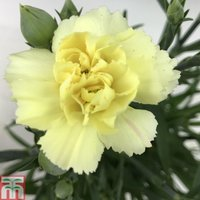 Dianthus Sunflor Bling Bling Yellow