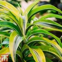 Dracaena fragrans (Deremensis Group)