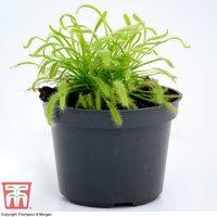 Drosera capensis (Houseplant)