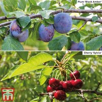 Cherry & Plum Duo (Mini Fruit Trees)