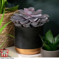 Echeveria Purple Pearl - Shine Like a Pearl (House plant)