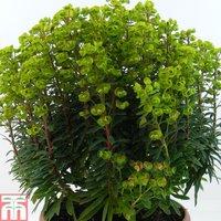 Euphorbia x martini
