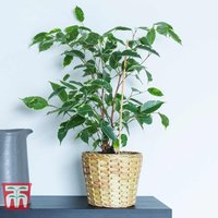 Ficus benjamina (House Plant)