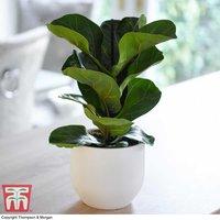 Ficus lyrata Compacta (House Plant)