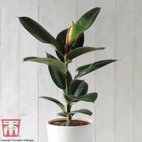 Ficus elastica Robusta (House Plant)