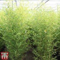 Fish-pole Bamboo