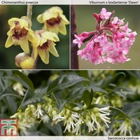 Fragrant Winter Shrub Collection