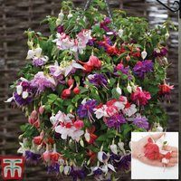 Fuchsia Giants Lucky Dip Collection