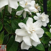 Gardenia Crown Jewels