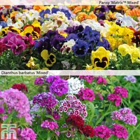 Pansy & Dianthus Garden Ready Duo
